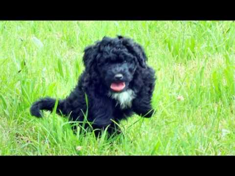 Portugiesische Wasserhunde | Cao de Agua