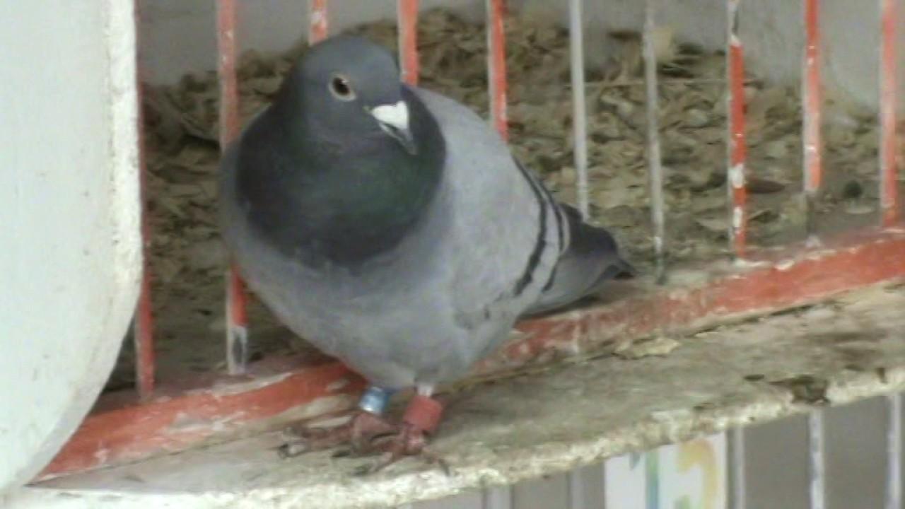 pierderea în greutate porumbei)