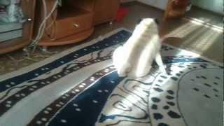 видео Собака ездит на попе.Причины.