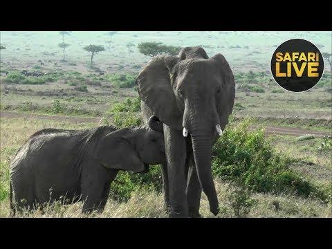 safariLIVE - Sunrise Safari - November 9, 2018