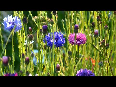 Gerald Finzi - For St. Cecilia - Op. 30 - James Gilchrist, Tenor