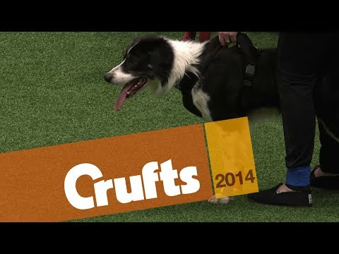 Flyball   Team Finals   Crufts 2014