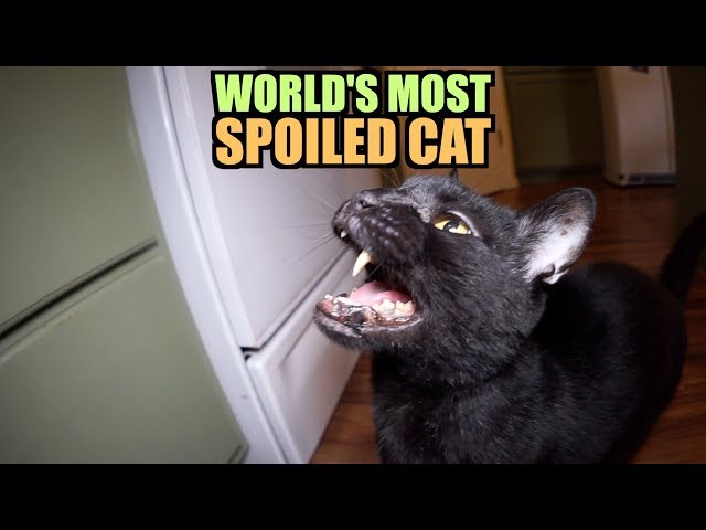 Talking Kitty Cat - World's Most Spoiled Cat