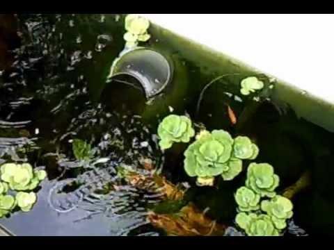 Fish pond old bath tub youtube for Bathtub fish pond