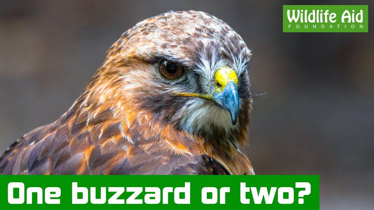 Buzzard fight leads to wildlife rescue
