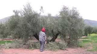 Gambar cover La Poda de Producción del Olivo