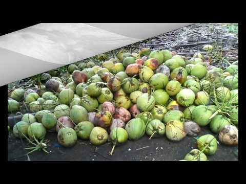 Authentic Dwarf Coconut Seedlings from Philippines (FOR SALE)