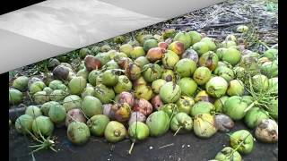 Authentic Dwarf Coconut Seedlings Philippines Sale