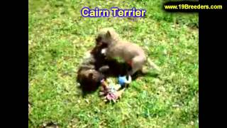 Cairn Terrier, Puppies, For, Sale, In, Butte Silver Bow, Montana, Mt, Helena, Havre, Kalispell