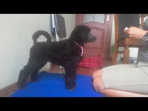 Show training of standard poodle part 1