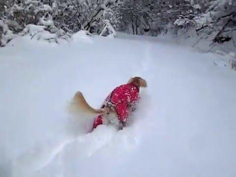 サルーキ せら!大雪を黙々と♪(Saluki)