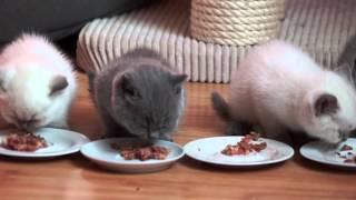 Hodowla Kotów Brytyjskich KOCIE IMPERIUM*PL