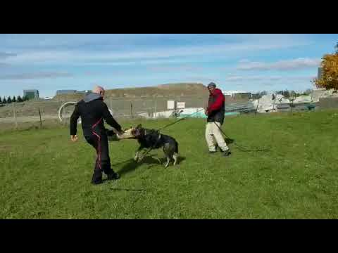 Protection Dog Training with IKE 1 | TEAM-K9 protection dog Protection Dog Training and For Sale 0
