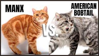 Manx Cat VS. American Bobtail Cat