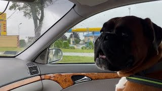 Boxer dog loves car trips part 2