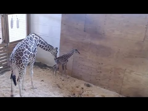 Thumbnail: April the Giraffe finally gives birth as 1 million people watch