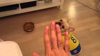 フレブルNicoの夕食①    Nico #001