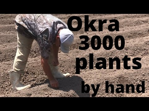 Okra -Plant To Harvest 2019