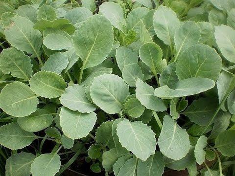 Вопрос: Когда сажать капусту на рассаду в 2020 году?