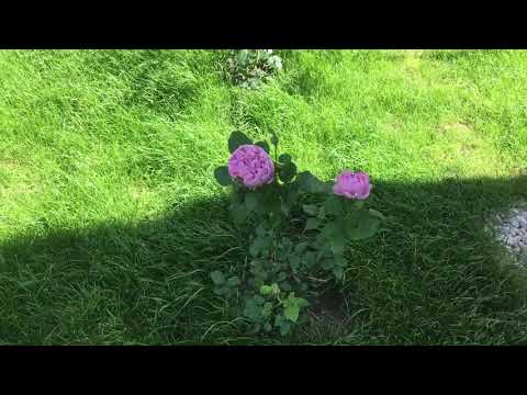 Charles Rennie Mackintosh rose