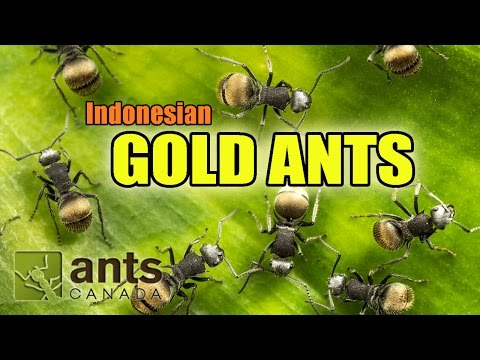 Thumbnail: I found GOLD ANTS in Indonesia!