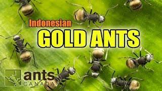 I found GOLD ANTS in Indonesia!
