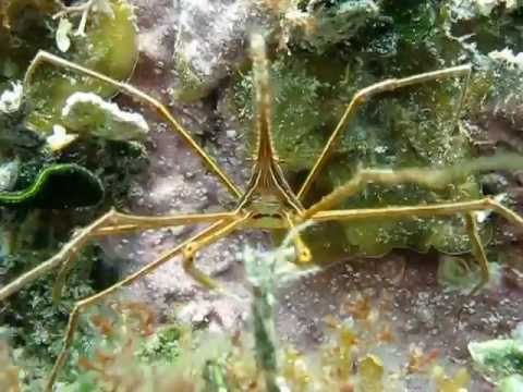 Spider Crab eating, Sharpnose Puffer & Juvenile Drum Fish