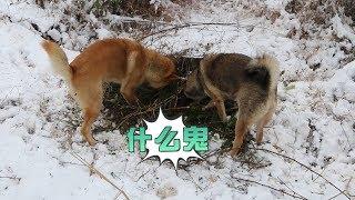 冰天雪地,中华田园犬挖洞涉水寻找野物,这猎性和体质没得说。发布中华...