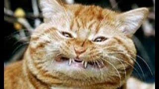 قطط سمينة مضحكة