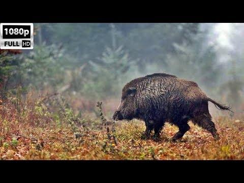 Madra Dağı Domuz Avı (Ağacık Köyü-Burhaniye)/Wild Boar Hunting/Sanglier Chasse/Wildschweinjagd HD