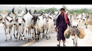 Thar Sindh Rajistani Bull