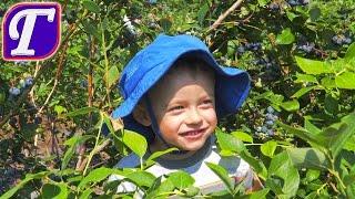 Макс Собирает Чернику в Америке -  Весёлый Прекрасный День влог Для Детей Канал Гуляшка kids vlog