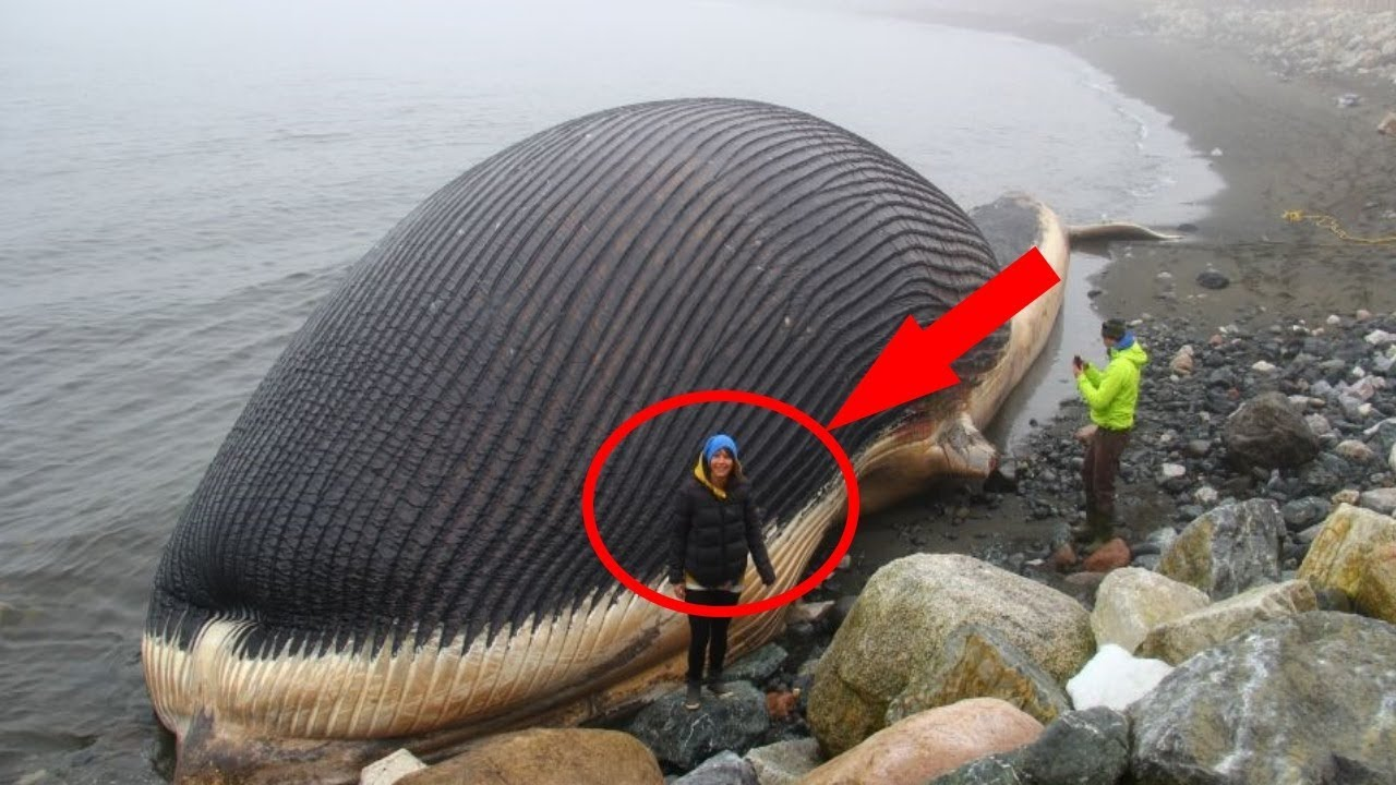 3 monstres marins les plus gros du monde ouathefeuk tv - Baleine pinocchio ...