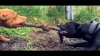 Real American Pit Bull Terrier (APBT) (Pitbull) / 2018