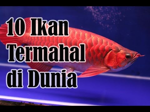 10 Ikan Hias Air Tawar Termahal di Dunia, Berminat Memelihara? #SURUHGOOGLEAJA