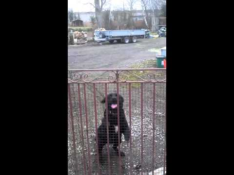 Black Labrador Jumping the Gate