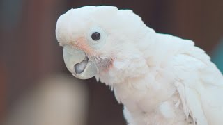 Cockatoo SOS | Sentosa Stories