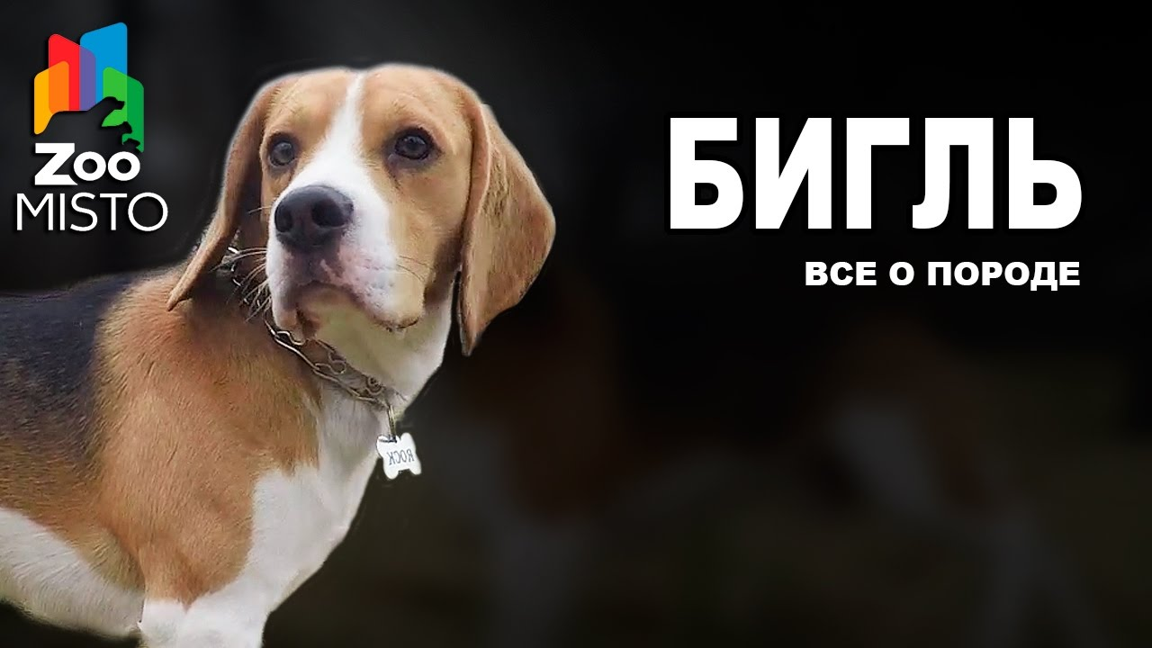 Бигль - Все о породе собаки   Собака породы Бигль - YouTube