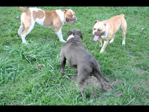 American Bully American Bulldog Thug Bully Dogzz 3 Youtube