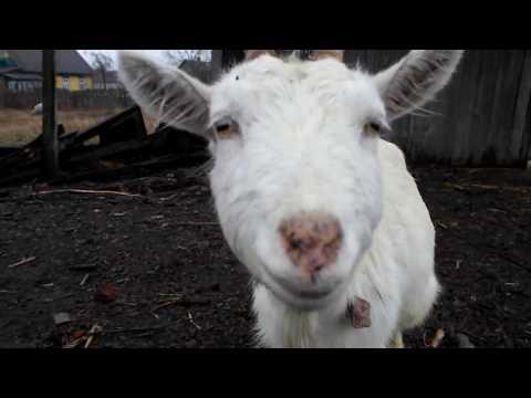 Как вылечить козу от поноса.