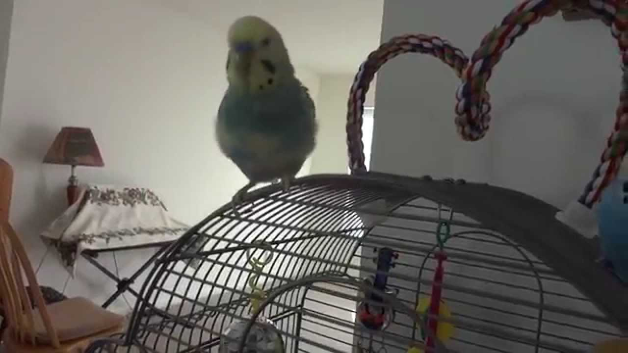 Does anyone know what type of behavior this budgie is displaying?