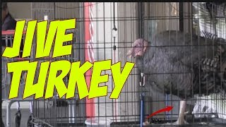 Jive Turkey and Seeing Eye Turkey