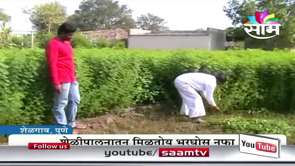 Sikander tamboli's goat farming success