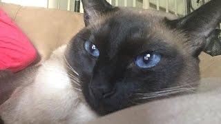 Истинный Кошатник умеет разговаривать по кошачьи и постоянно это делает  =^..^= СИАМСКИЕ КОШКИ