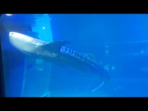 Sharks and rays and - wait for it! - the whale shark at the Osaka Aquarium