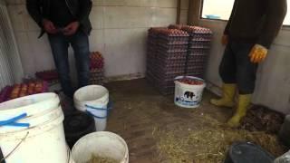 Doğal Yumurta-Tavukçuluk-2-KolilemeÖner ÇALIŞ:05332358125