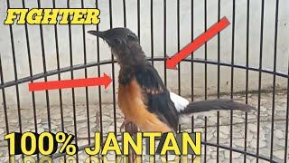 Ciri murai Trotol Jantan    fighter