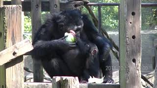 のんぽいぱーく チンパンジー.