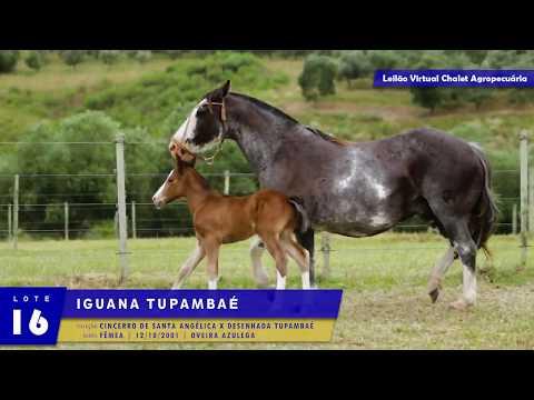 LOTE 16 - Iguana Tupambaé