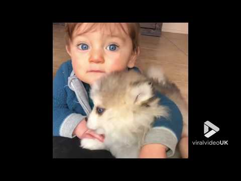 Pomsky And Baby Look So Cute || Viral Video UK